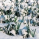 Leeks in snow