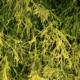 chamaecyparis pisifera aurea