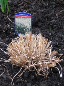 "Pennisetum 'Hamlin' - a warm season grass. Cut back to 3"" in late spring after frost has passed, for that hedgehog look!"