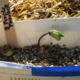 bean sprouting close up1