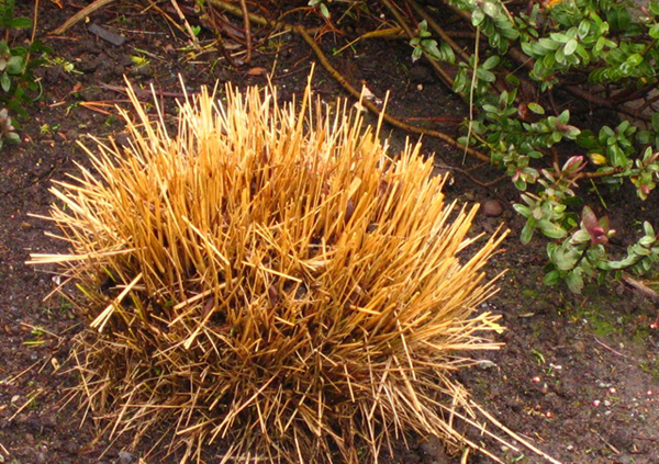sheared grass 1