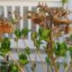 big fat hydrangea buds