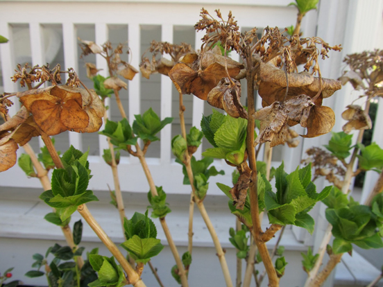 Big fat hydrangea buds