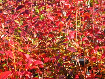 Bluecrop-bb-Fall-Colour