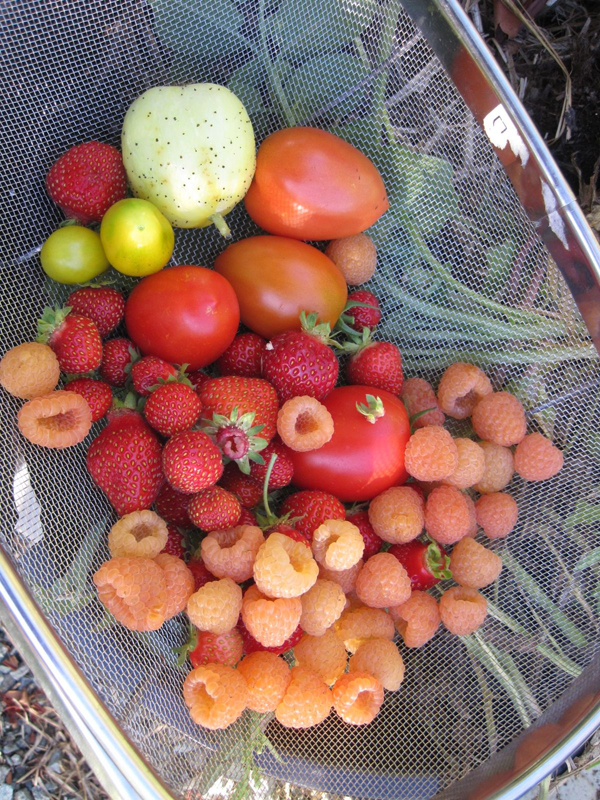 Harvest in late September