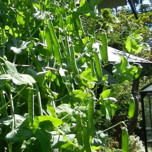 Peas,-Tall-Telephone-and-Su