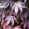 acer palm. bloodgood
