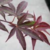acer palm. red emperor