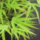 acer palm. scolopendrifolium