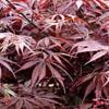 acer palm. suminagashi