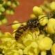 Bee on Mahonia