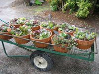 succ pots on wagon 200px