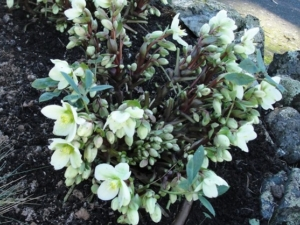 Helleborus x 'Honey Hill Joy' - AFTER CUTTING BACK