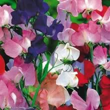 Sweet Peas - Royal Family