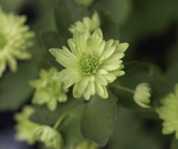 Anemonella-'Betty-Blake'