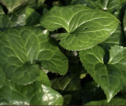 Beesia-calthifolia
