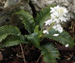 Pteridophyllum-racemosum