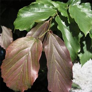 Parrotia Ruby Vase