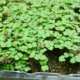 arugula seeds 48