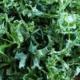 Shredded kale