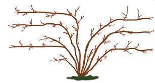 Rose Pruning 3