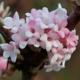 Viburnum bodnentense