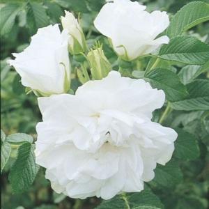 Blanc Double de Coubert 1 Wks