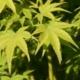 Acer palmatum Shidava Gold