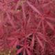 Acer palmatum dissectum Lionheart
