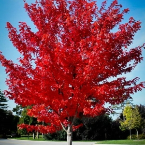 Acer rubrum Autumn Flame
