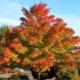 Acer x truncatum Pacific Sunset