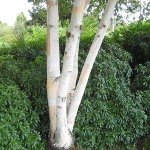Betula utilis var. jacquemontii