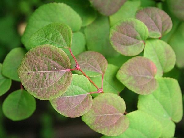 Cercidiphyllum japonicum JPG01b