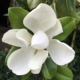 Magnolia Edith Bogue