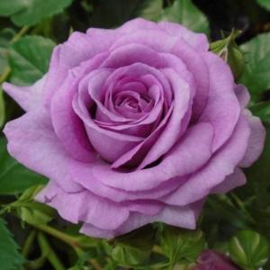 Violets Pride 1 PS