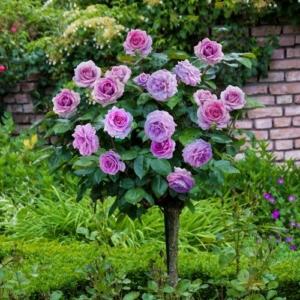 Violets Pride tree